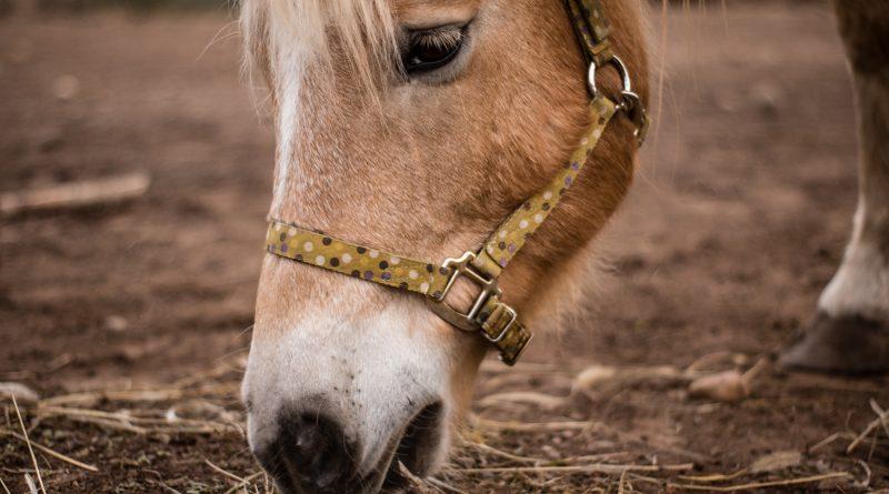 mash til heste